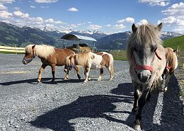 With their 25 ponies, the cable car companies have created a pony pasture on the Astberg